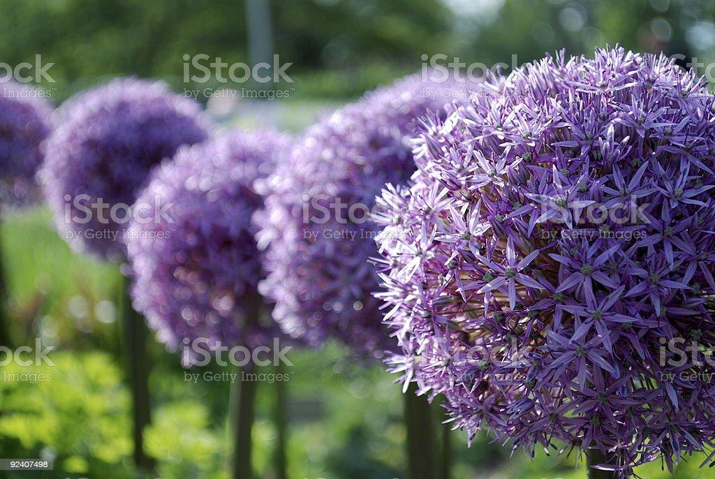 Allium aflatunense stock photo