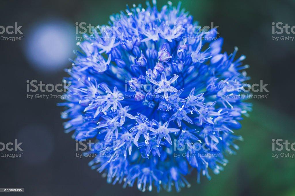 Allium (Allium Giganteum) blooming in the garden stock photo
