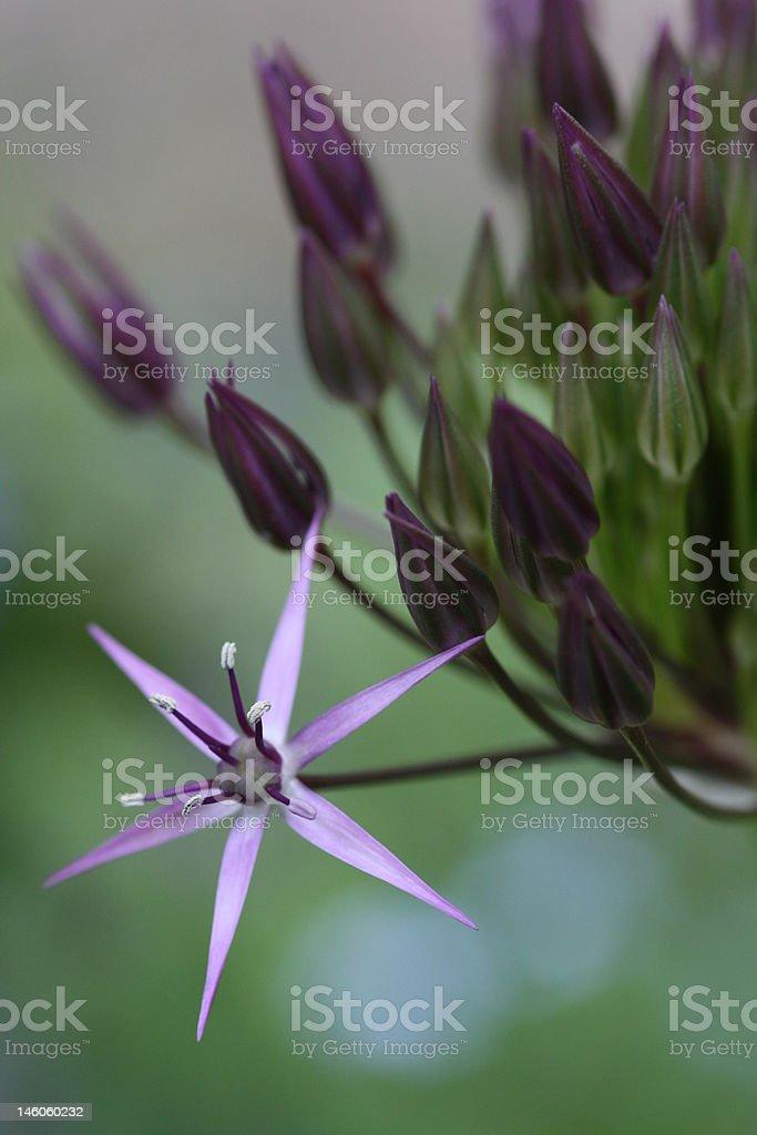 Allium christophii stock photo