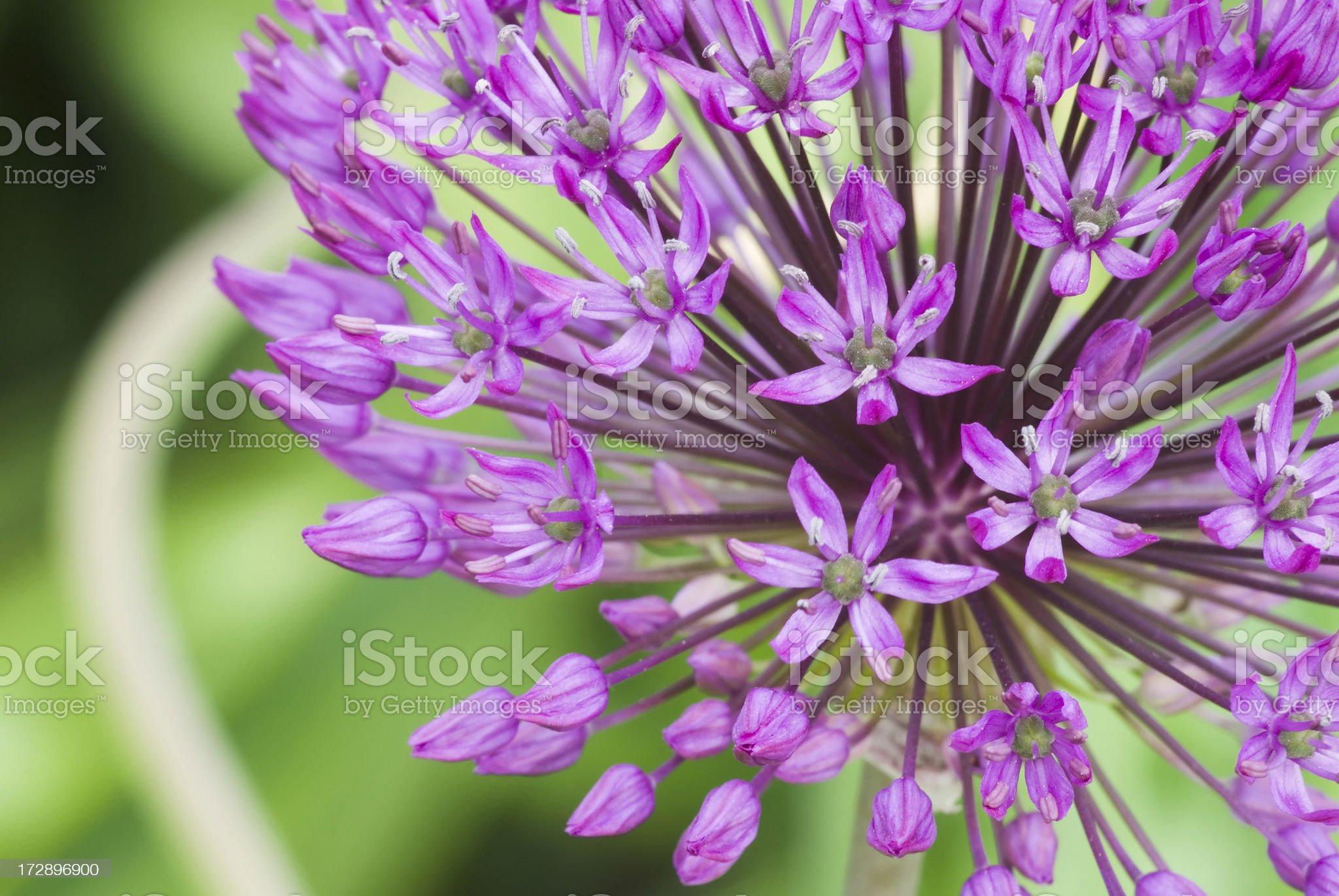 Allium - Dutch Garlic royalty-free stock photo