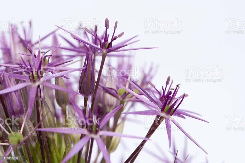 Allium flower close-up royalty-free stock photo