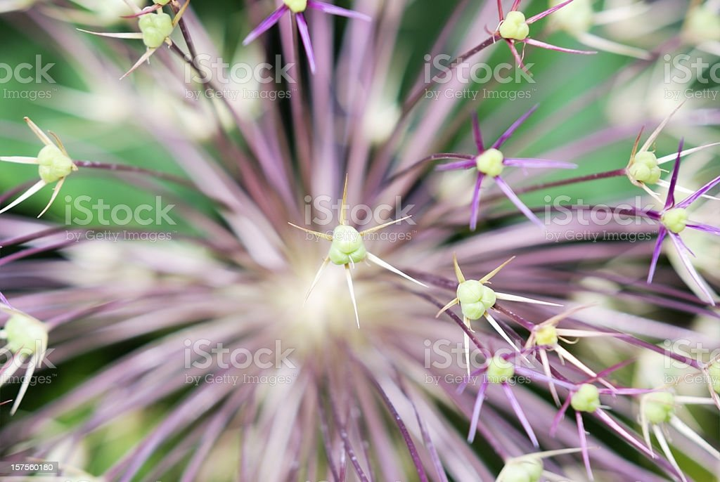 Allium flower, close-up - Star of Persia, royalty-free stock photo