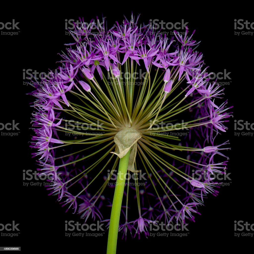 XXXL: Allium flower head isolated on a black background stock photo