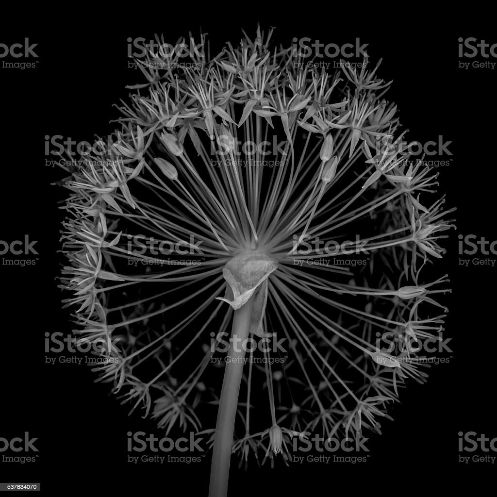Allium flower head isolated on a black background stock photo