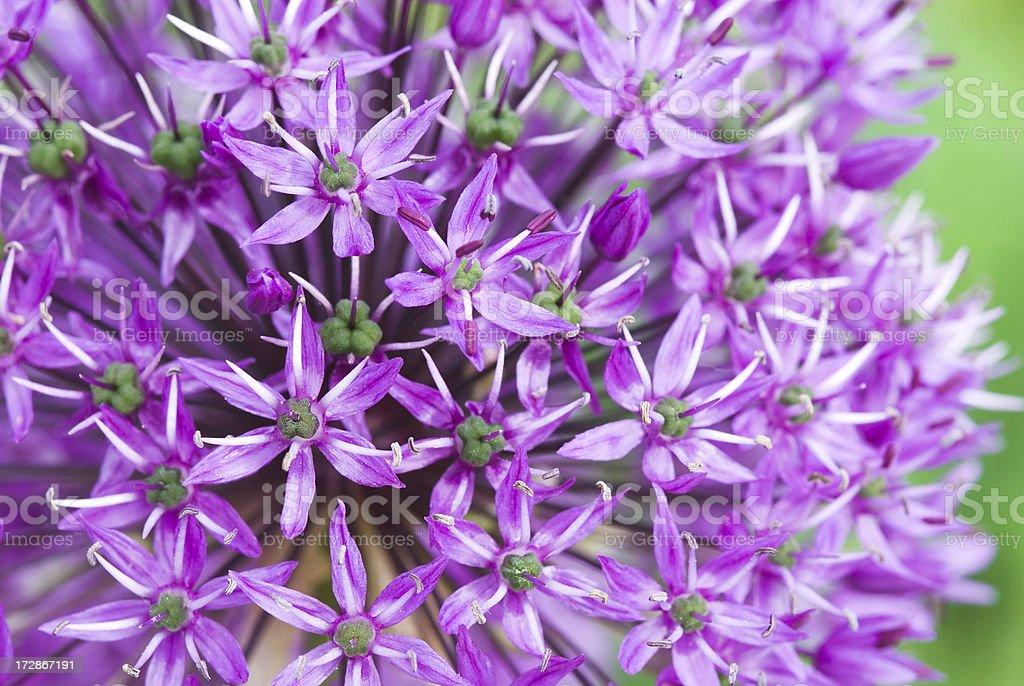 Allium flower head (macro) royalty-free stock photo