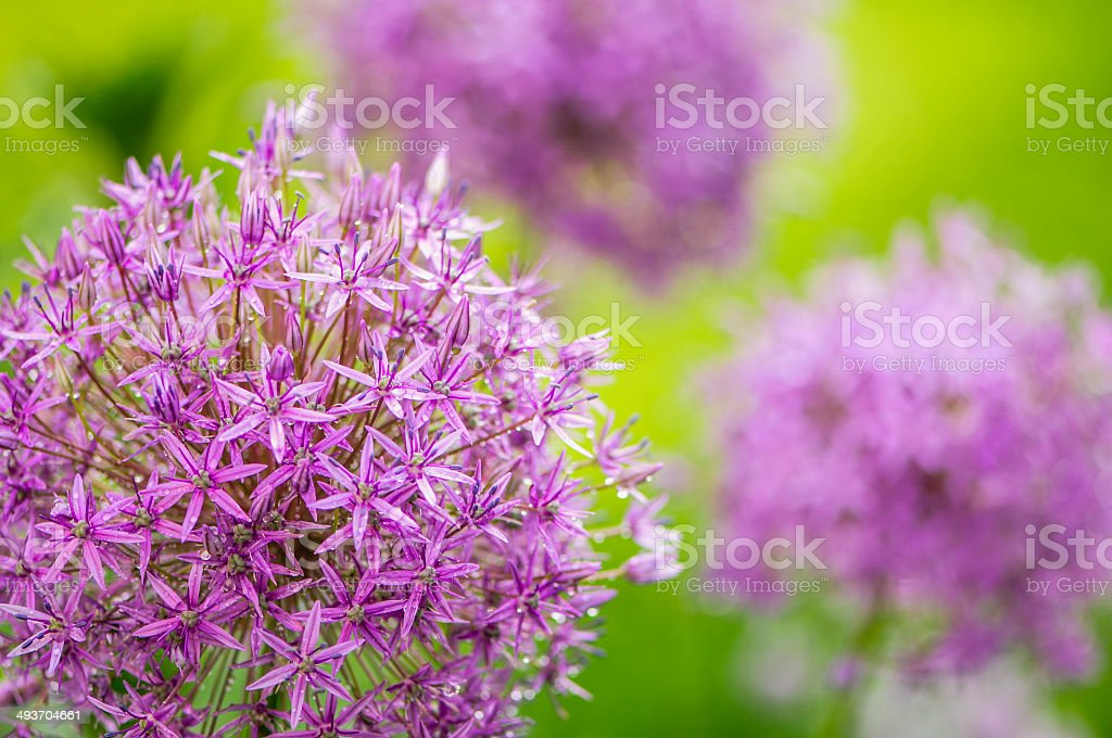 Allium flower head stock photo