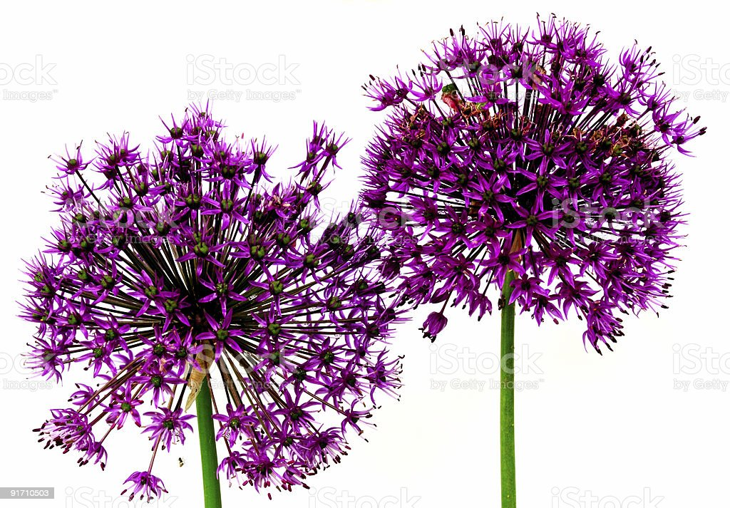 allium flower heads royalty-free stock photo