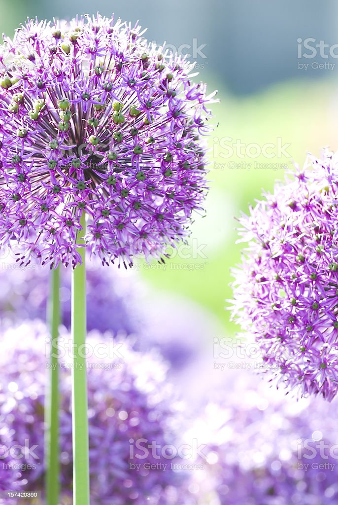 Allium flower - II royalty-free stock photo