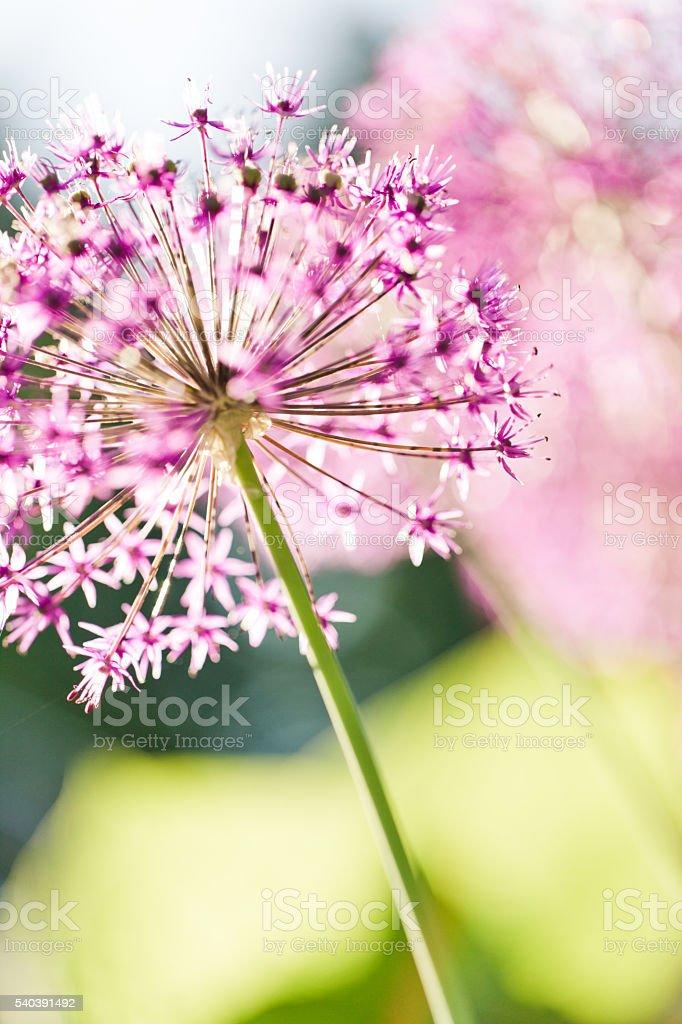 Allium Flower stock photo