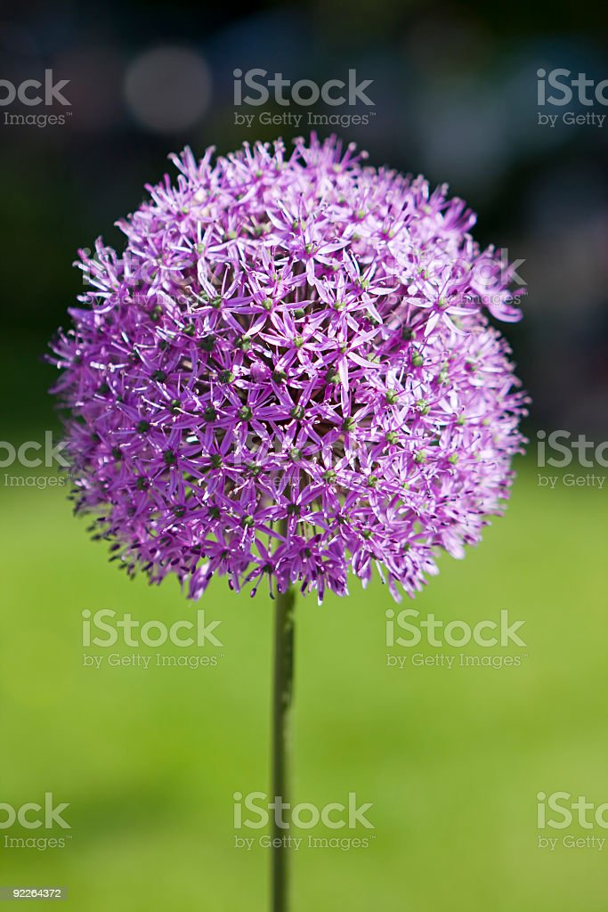 Allium Flower royalty-free stock photo