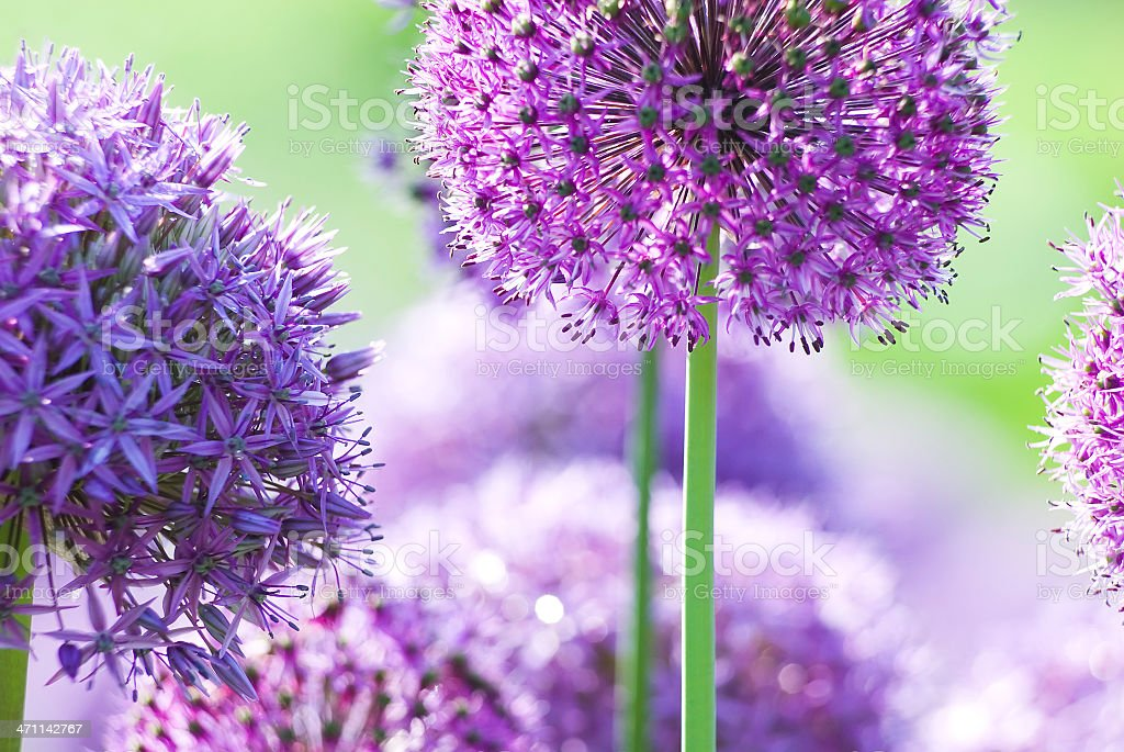 Allium flower - VI royalty-free stock photo