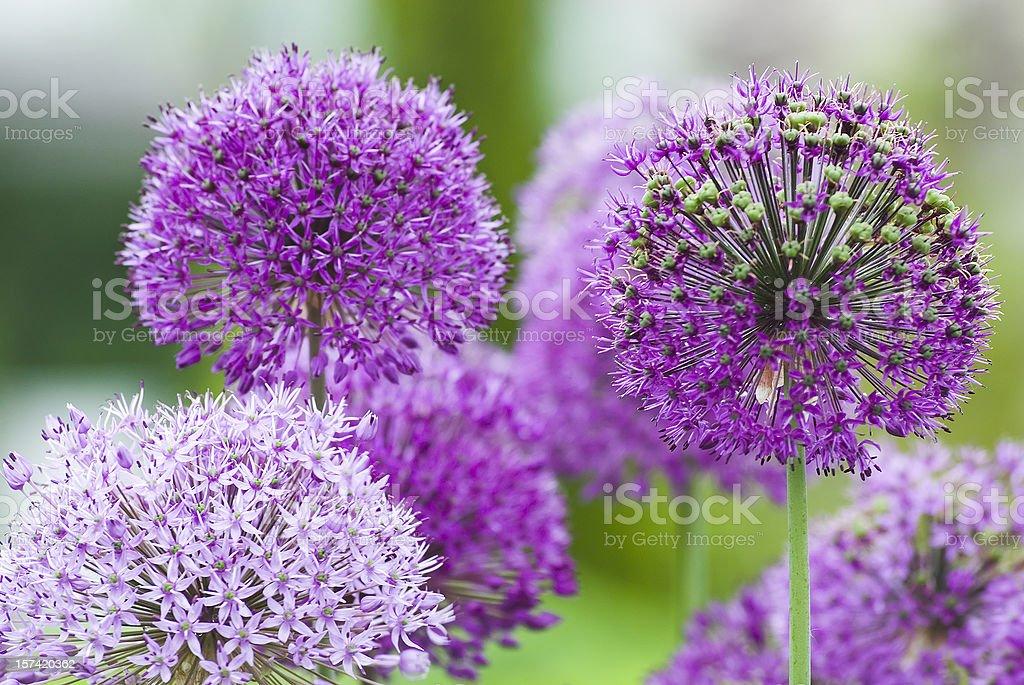 Allium flower - VII stock photo