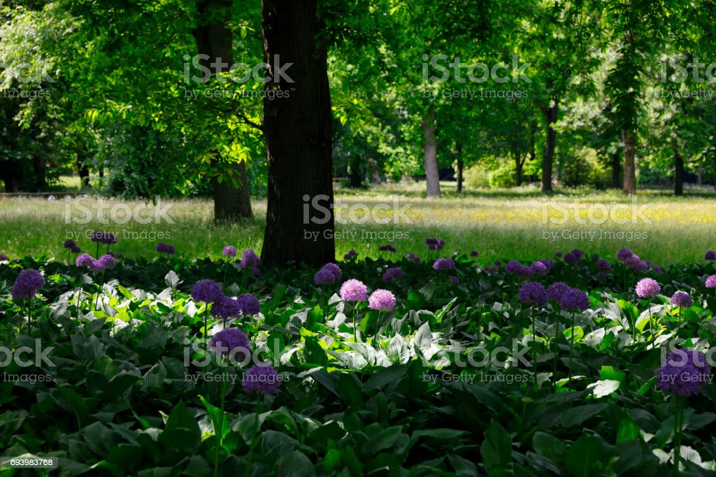 Allium flowers blossoming in a forest stock photo