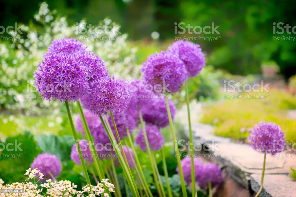 Allium flowers in a beautiful park stock photo
