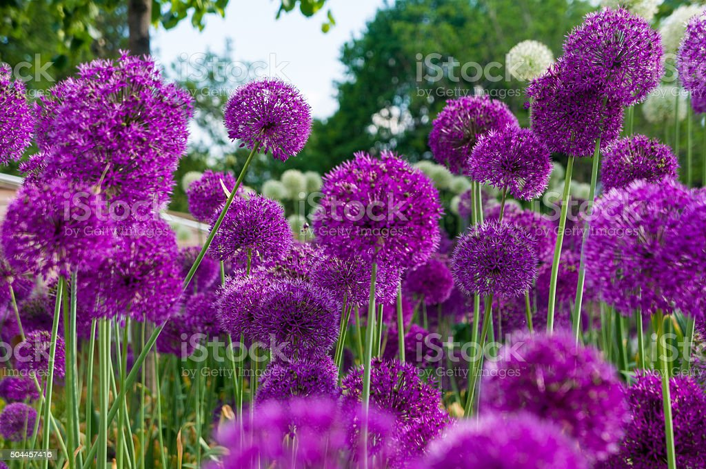 Allium flowers in a flower bed stock photo