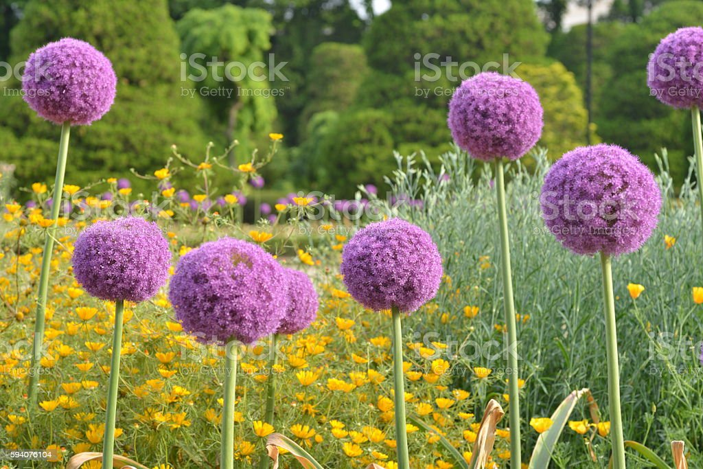 Allium giganteum / Giant Onion stock photo