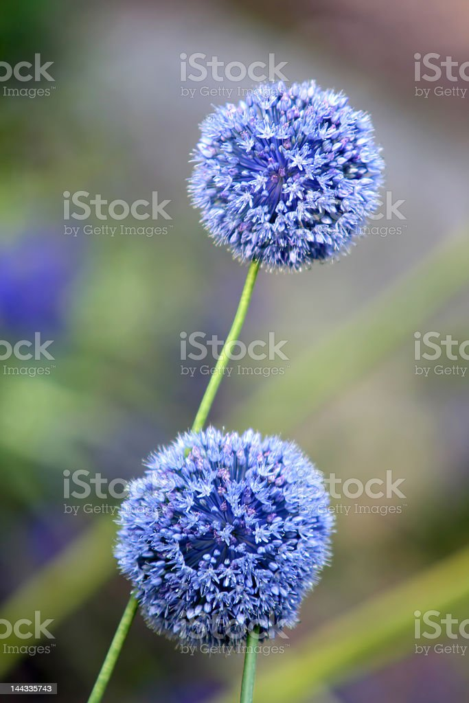 Allium Giganteum royalty-free stock photo