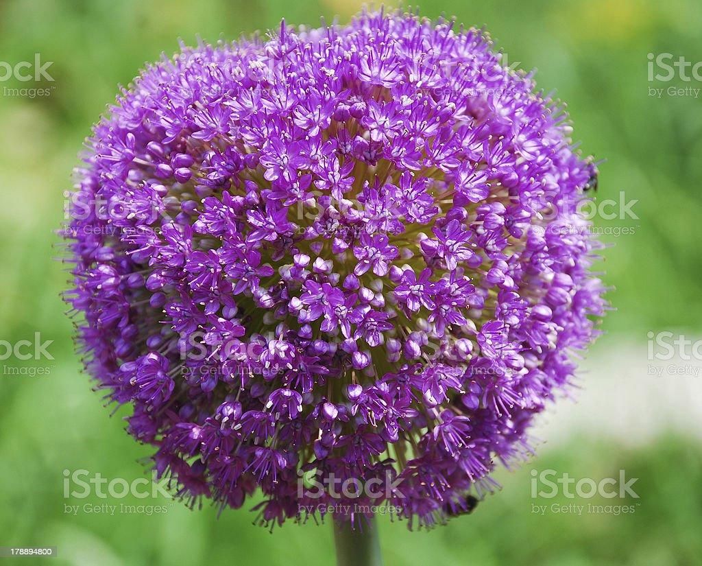 Allium Giganteum royalty-free stock photo