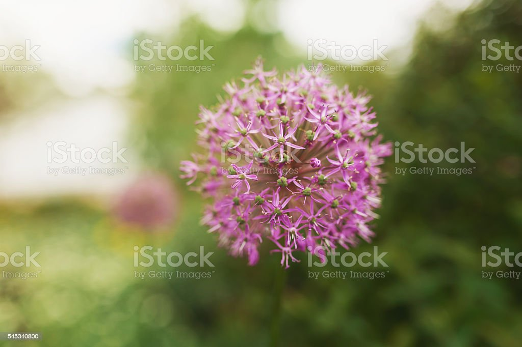 Allium Giganteum (Onion Flower) stock photo