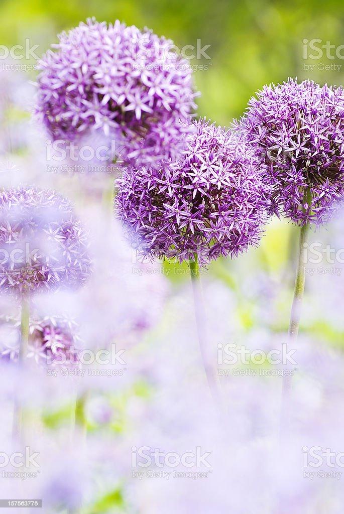 Allium 'Globemaster' abstract - II royalty-free stock photo