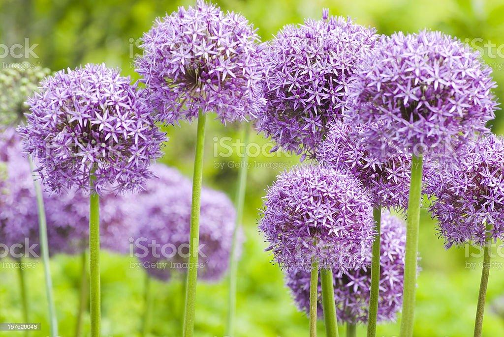 Allium 'Globemaster' ornamental onion - XI stock photo
