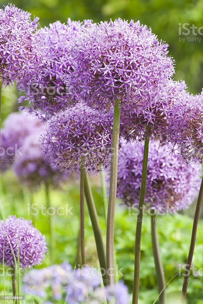 Allium 'Globemaster' ornamental onion - XV royalty-free stock photo