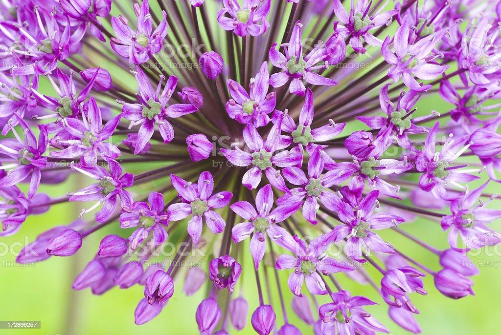 Allium hollandicum 'Purple Sensation' - I royalty-free stock photo