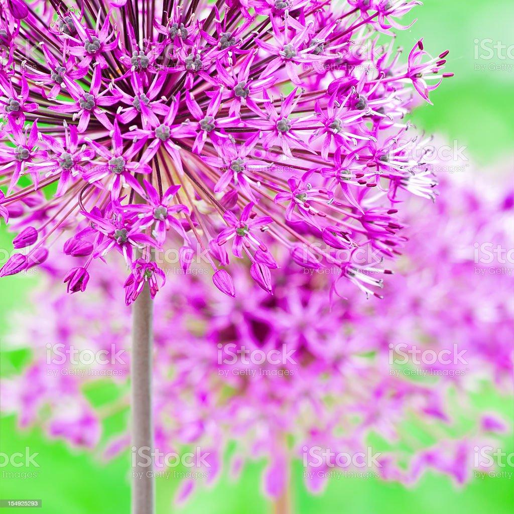 Allium hollandicum 'Purple Sensation' (square composition) - III royalty-free stock photo