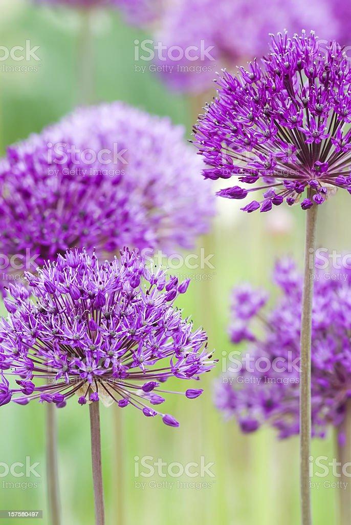 Allium hollandicum 'Purple Sensation' - III stock photo