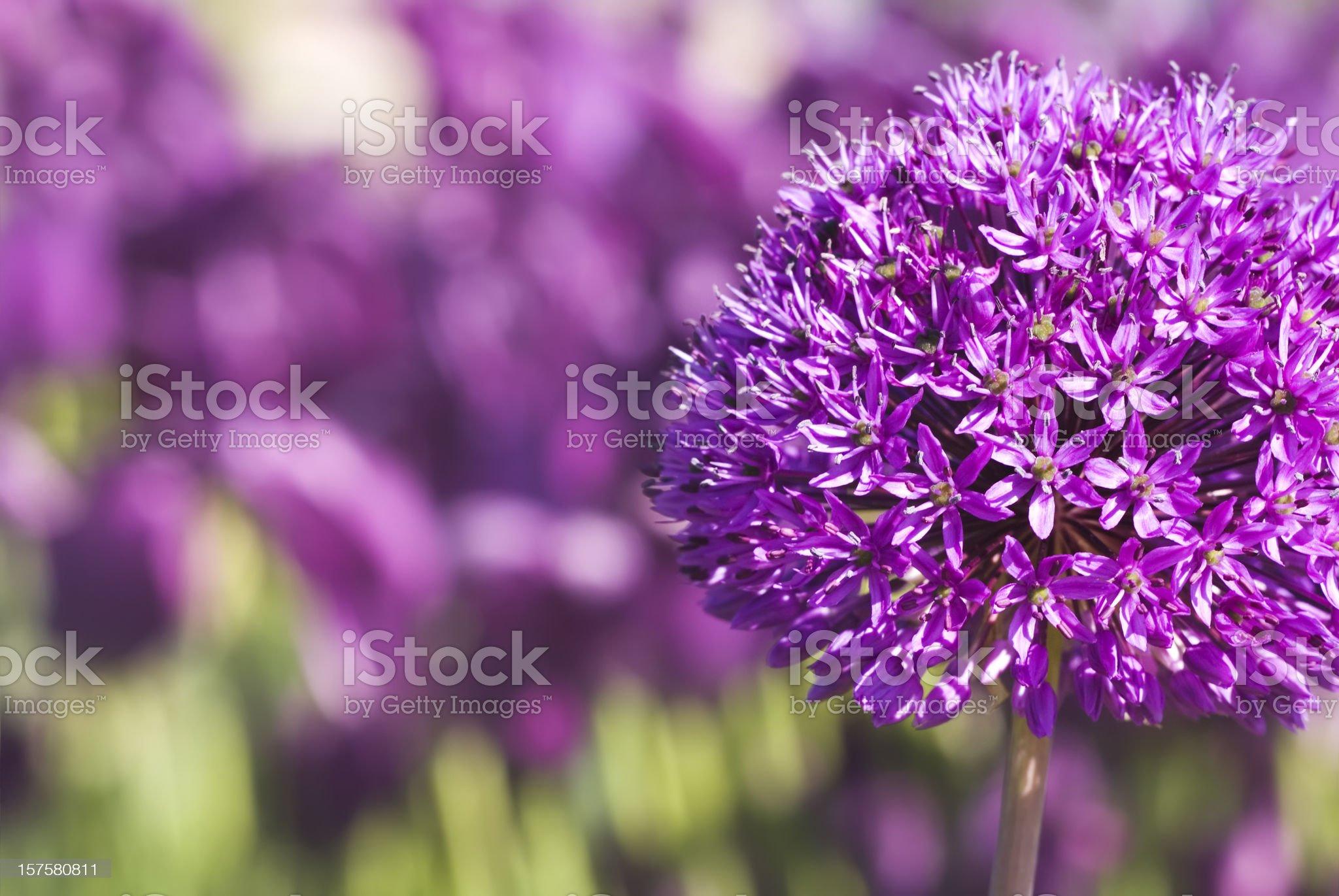 Allium hollandicum 'Purple Sensation' - VII royalty-free stock photo