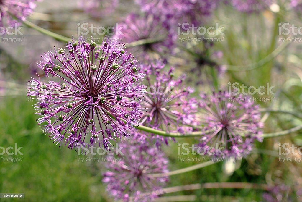 Allium jesdianum Akbulak stock photo