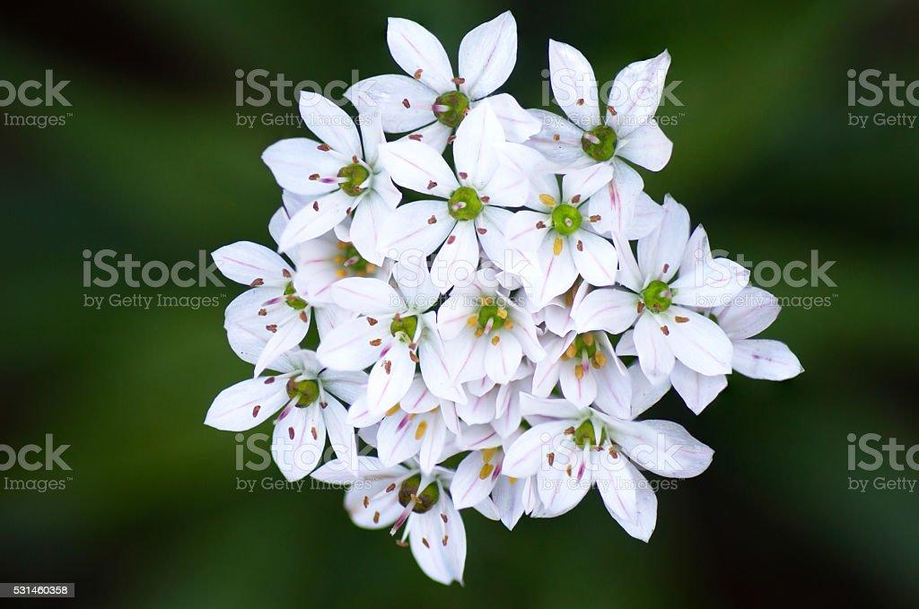 Allium Neapolitanum Flower stock photo