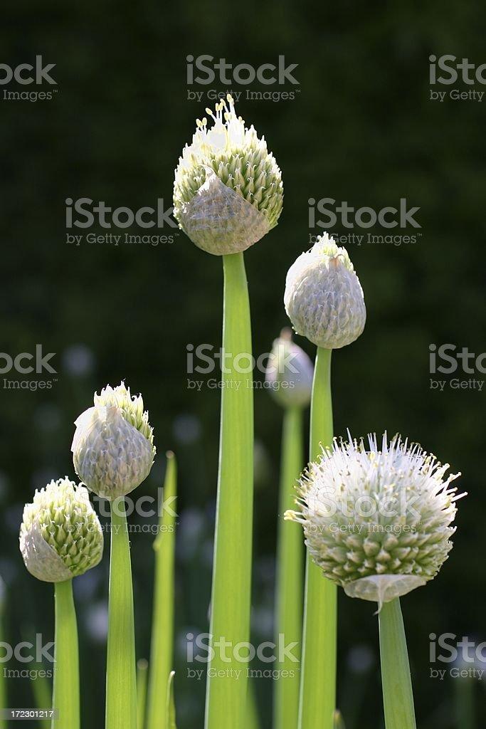 Allium nigrum flower buds in summer royalty-free stock photo