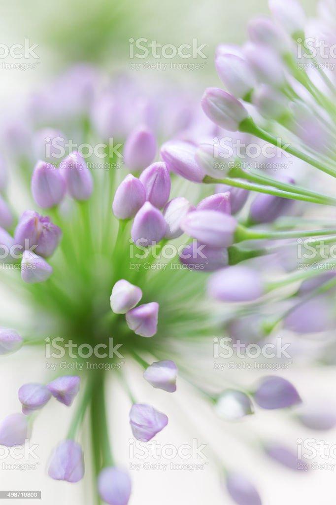 Allium - Onion Flower stock photo