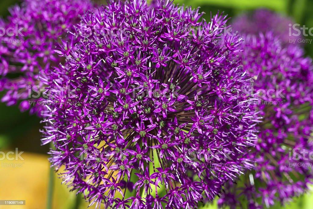 Allium stock photo