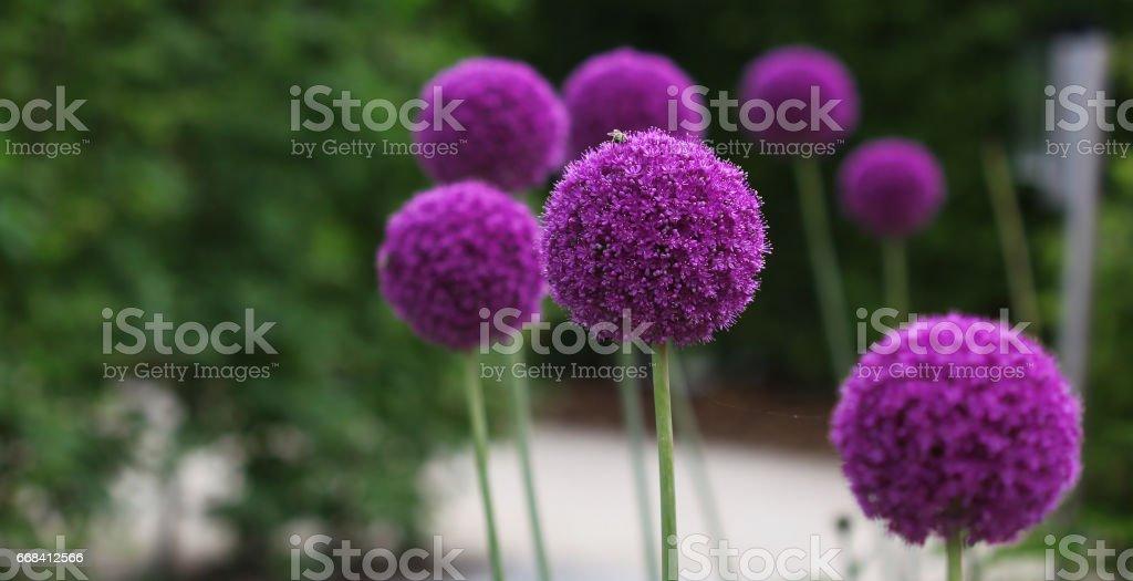 Allium purple flowers growing in the row stock photo