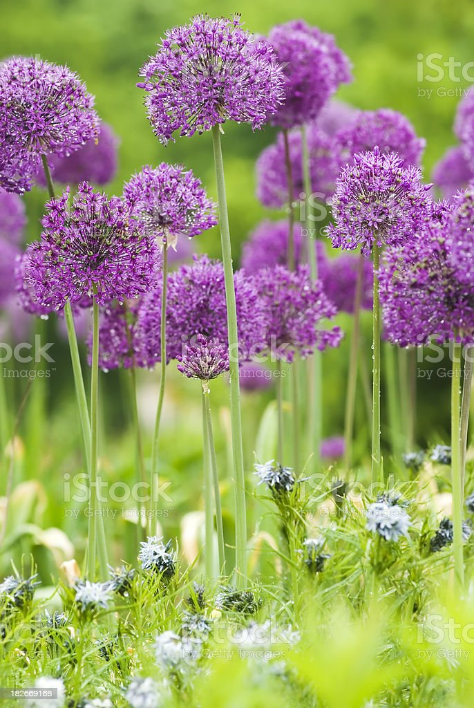 Allium 'Purple Sensation' and Blue Star (Amsonia) flowers - II royalty-free stock photo