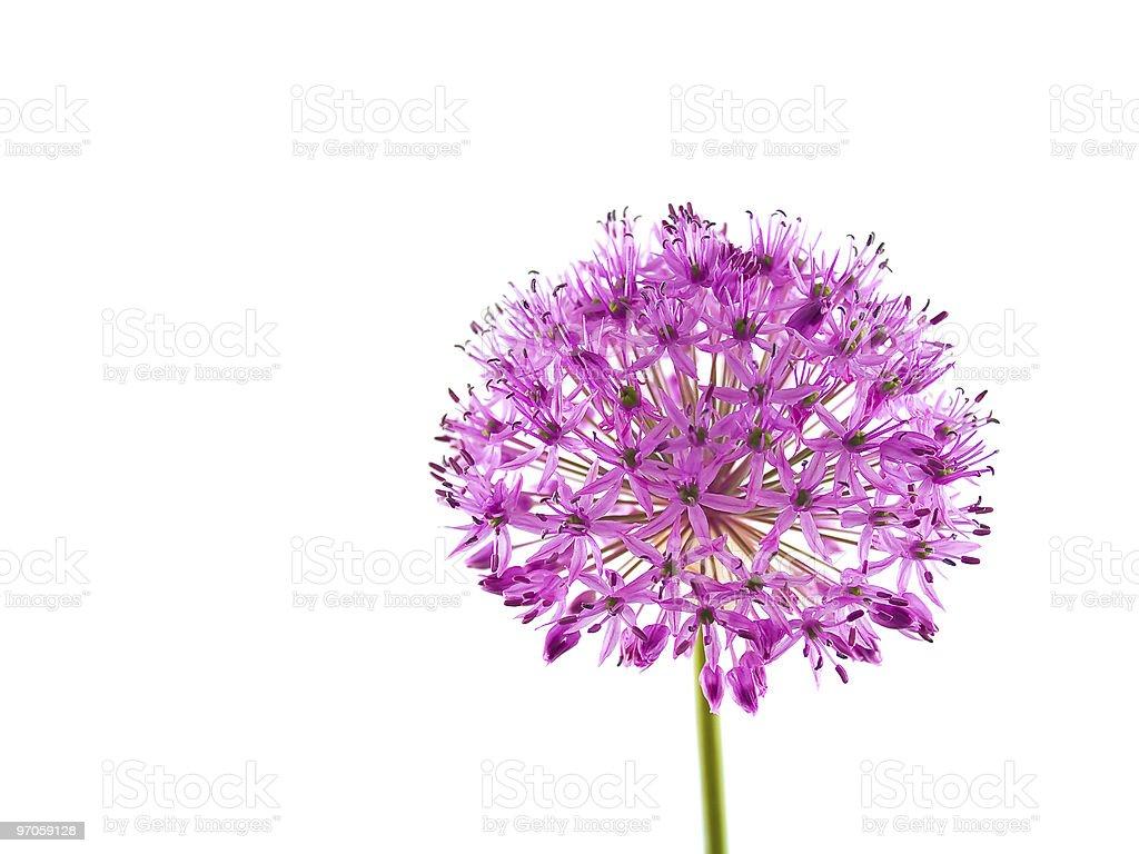 Allium Purple Sensation Flower stock photo