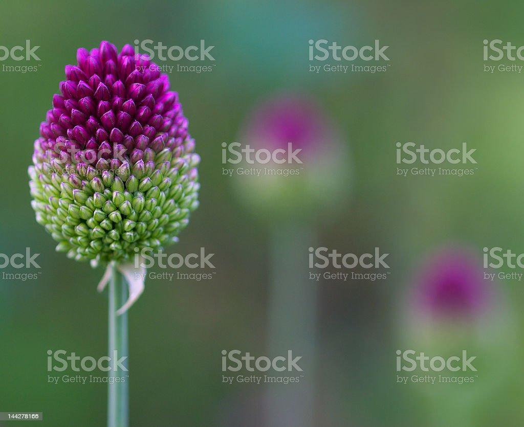 Allium sentries royalty-free stock photo