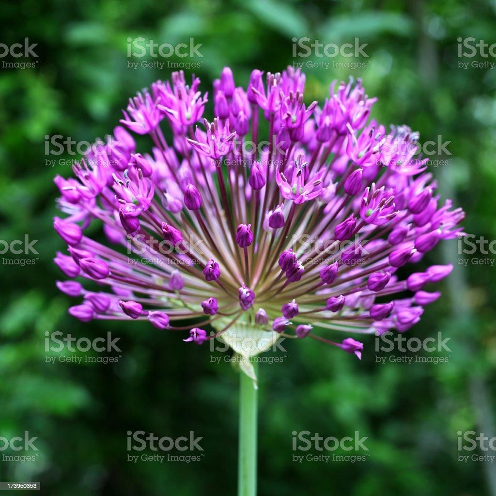 Allium Square Format royalty-free stock photo