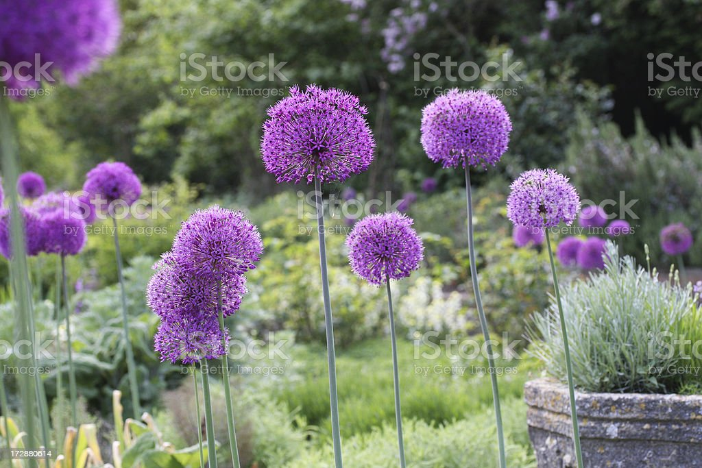 Alliums in garden royalty-free stock photo