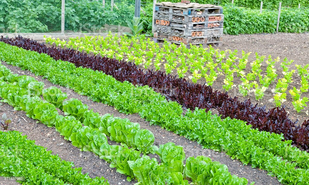 Allotment growing green lettuce, celery, and insect, bug box stock photo