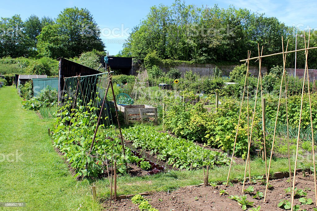 Allotment vegetable garden, runner bean plants, wigwams of bamboo canes royalty-free stock photo