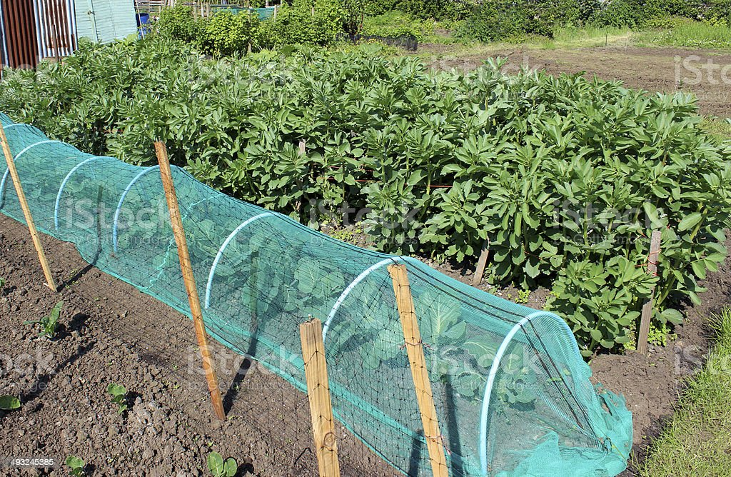 Allotment vegetable garden with broad beans, cabbages and cloche netting stock photo