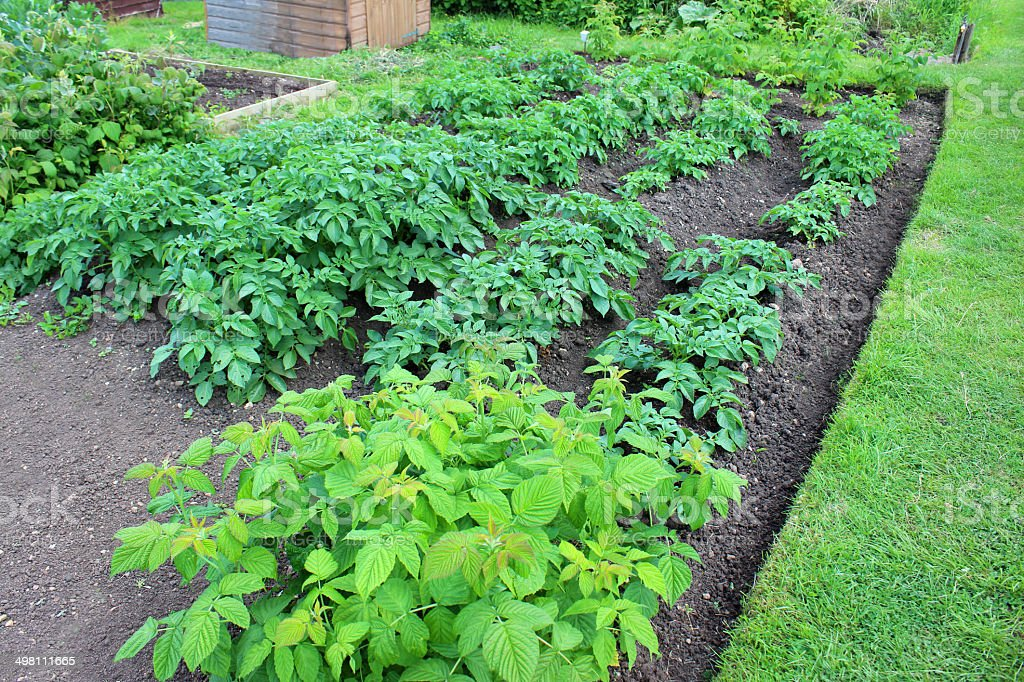 Allotment vegetable garden with mounded potato plants and raspberry canes stock photo