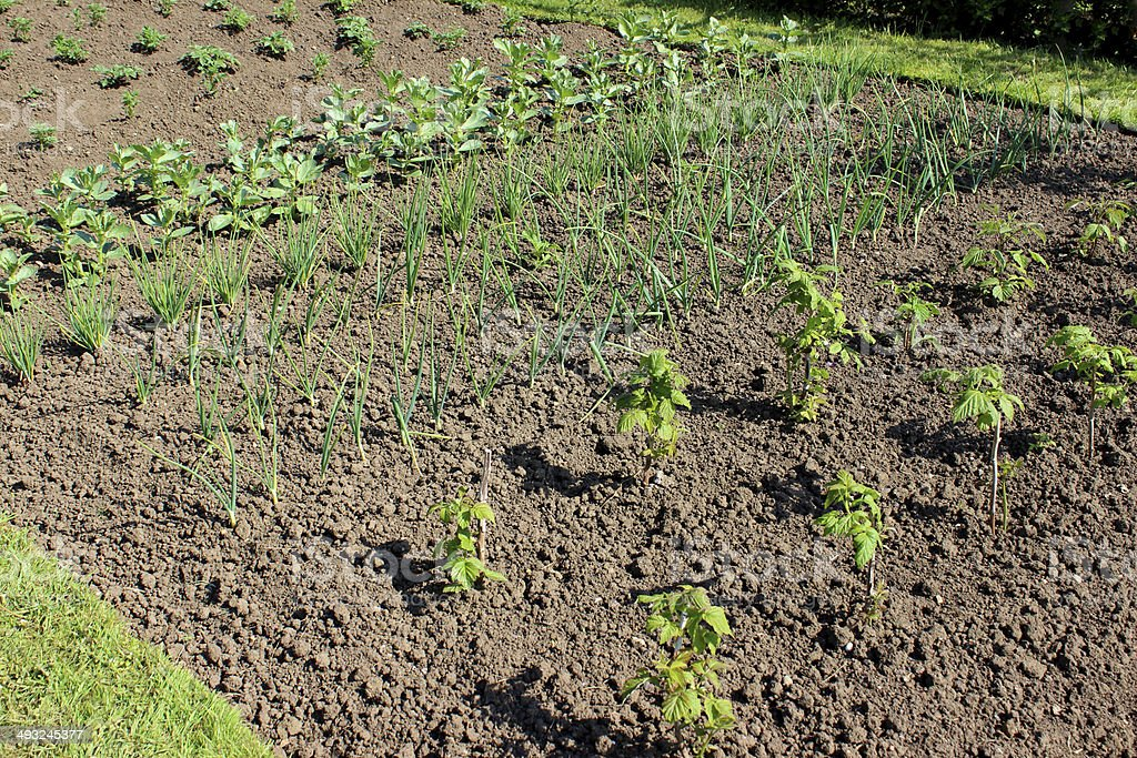 Allotment vegetable garden with raspberries, spring onions, broad beans, potatoes royalty-free stock photo