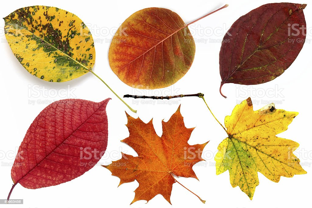 Allsorts of autumn leaves on a white background 1 royalty-free stock photo