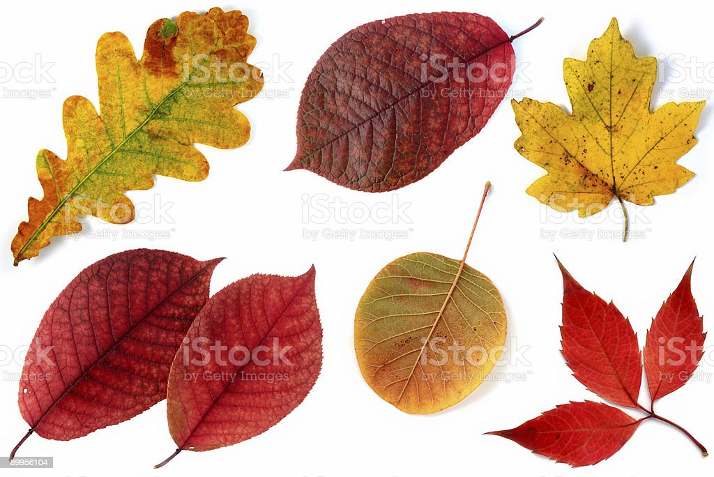 Allsorts of autumn leaves on a white background 3 royalty-free stock photo