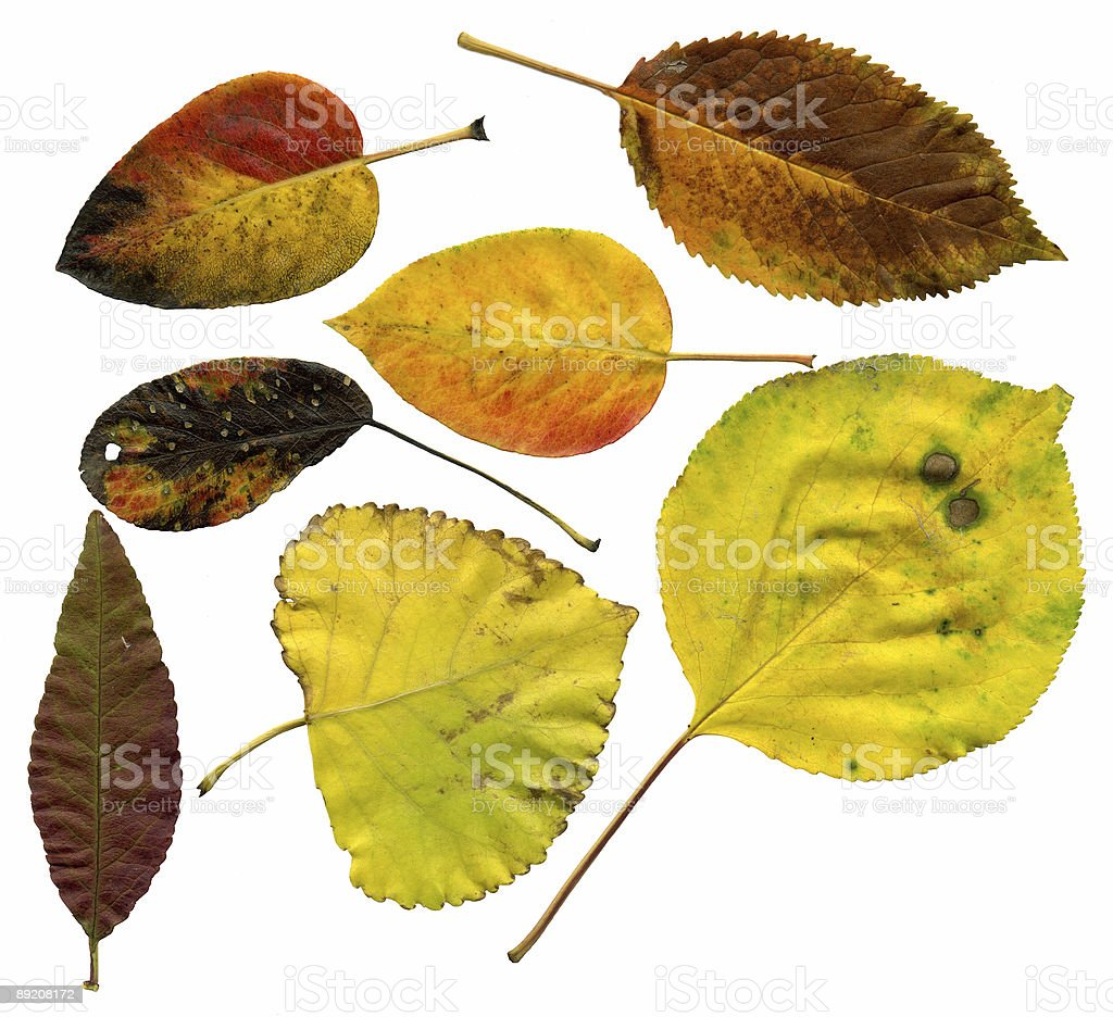 Allsorts of autumn leaves on a white background 4 royalty-free stock photo