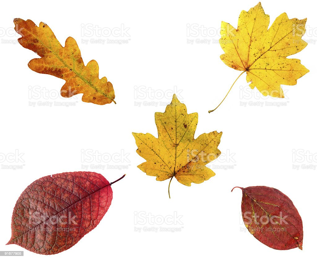 Allsorts of autumn leaves on white background royalty-free stock photo